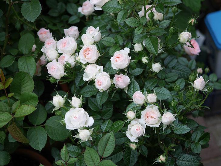 チュチュオプティマ(ミニバラ)の花が満開になった。2020年-033.jpg