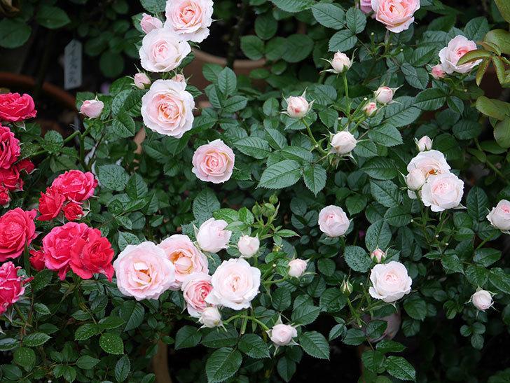 チュチュオプティマ(ミニバラ)の花が満開になった。2020年-034.jpg