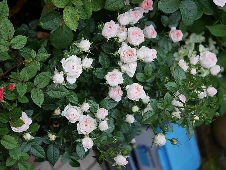 チュチュオプティマ(ミニバラ)の花が満開になった。2020年-036.jpg