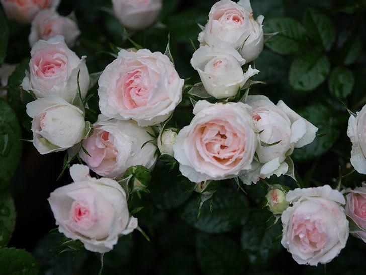 チュチュオプティマ(ミニバラ)の花が満開になった。2020年-037.jpg