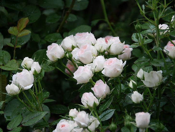チュチュオプティマ(ミニバラ)の花が満開になった。2020年-038.jpg