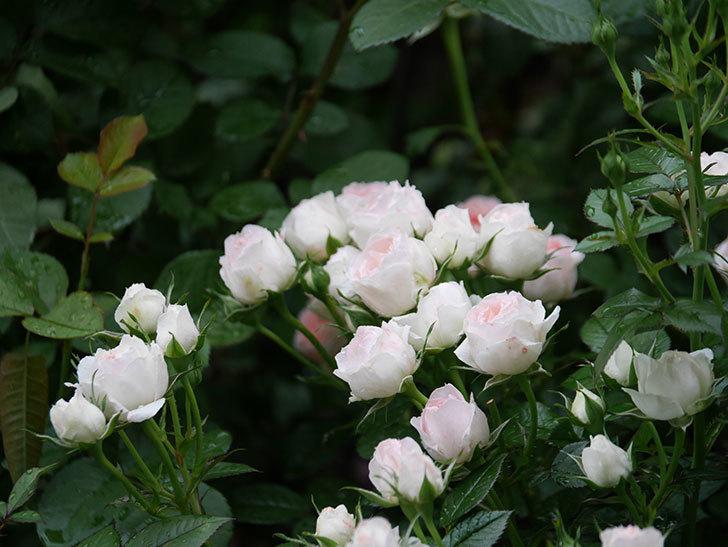 チュチュオプティマ(ミニバラ)の花が満開になった。2020年-039.jpg