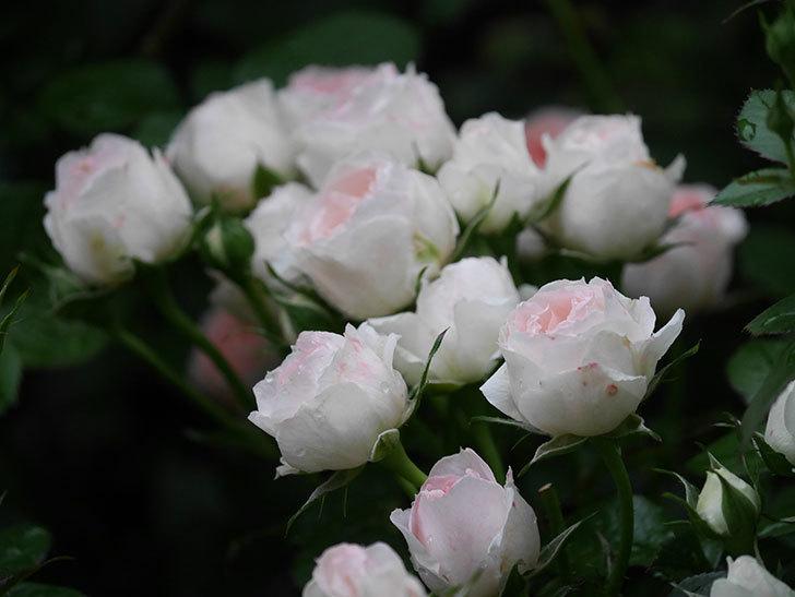 チュチュオプティマ(ミニバラ)の花が満開になった。2020年-040.jpg
