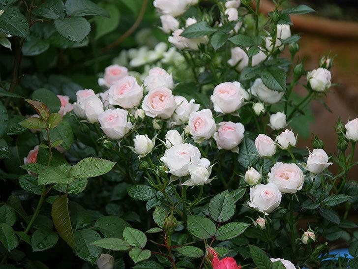 チュチュオプティマ(ミニバラ)の花が満開になった。2020年-041.jpg