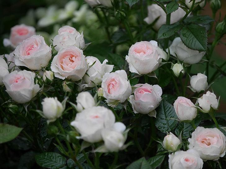 チュチュオプティマ(ミニバラ)の花が満開になった。2020年-042.jpg