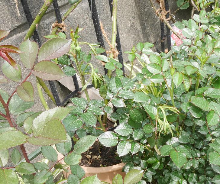 チュチュオプティマ(ミニバラ)の蕾付きの新枝が3本バラクキバチにやられて萎れた。2019年-2.jpg