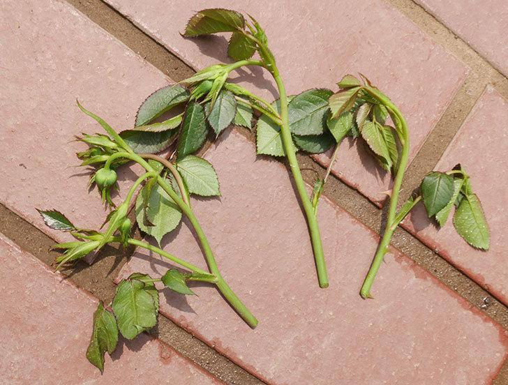 チュチュオプティマ(ミニバラ)の蕾付きの新枝が3本バラクキバチにやられて萎れた。2019年-6.jpg