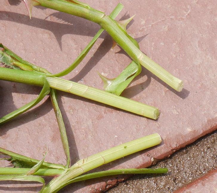 チュチュオプティマ(ミニバラ)の蕾付きの新枝が3本バラクキバチにやられて萎れた。2019年-7.jpg