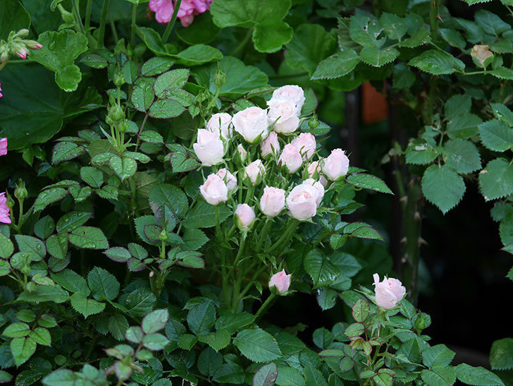 チュチュオプティマ(Tutu Optima)の2番花が咲いた。ミニバラ。2020年-001.jpg