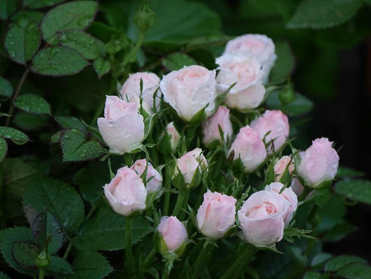 チュチュオプティマ(Tutu Optima)の2番花が咲いた。ミニバラ。2020年-002.jpg