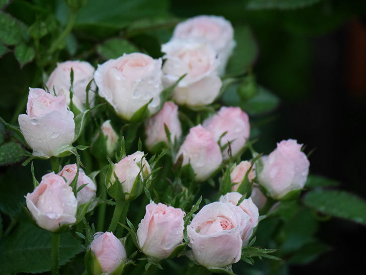 チュチュオプティマ(Tutu Optima)の2番花が咲いた。ミニバラ。2020年-003.jpg