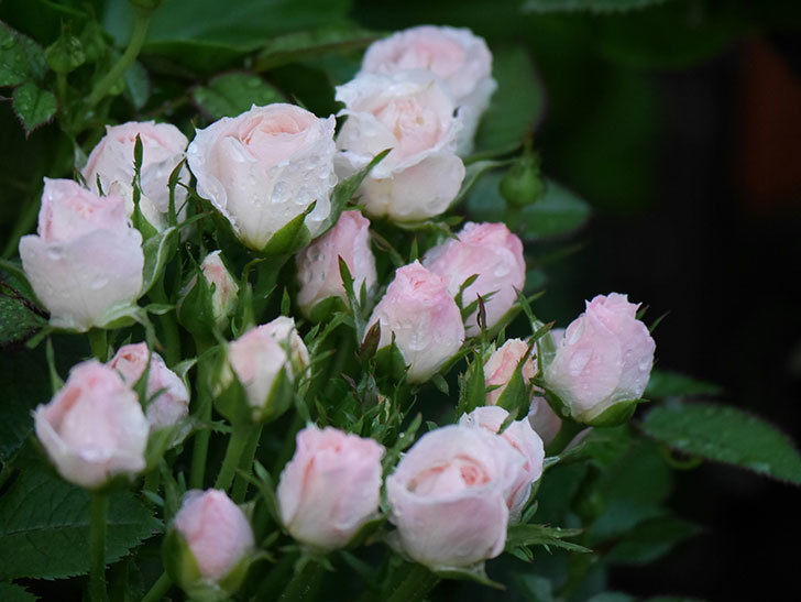 チュチュオプティマ(Tutu Optima)の2番花が咲いた。ミニバラ。2020年-004.jpg