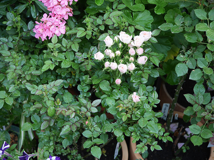 チュチュオプティマ(Tutu Optima)の2番花が咲いた。ミニバラ。2020年-005.jpg