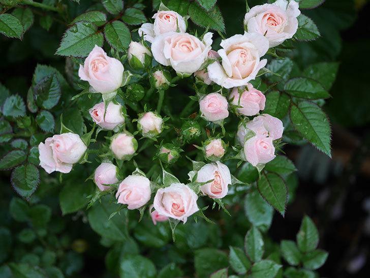 チュチュオプティマ(Tutu Optima)の2番花が咲いた。ミニバラ。2020年-006.jpg