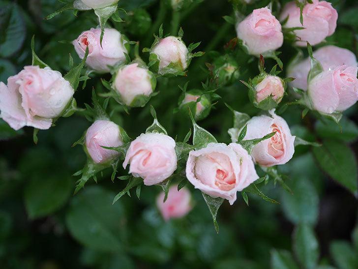 チュチュオプティマ(Tutu Optima)の2番花が咲いた。ミニバラ。2020年-008.jpg