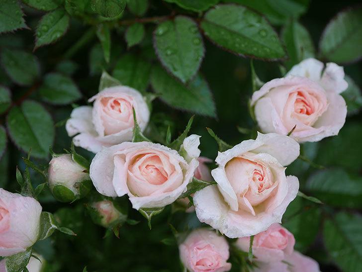 チュチュオプティマ(Tutu Optima)の2番花が咲いた。ミニバラ。2020年-010.jpg