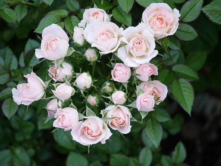 チュチュオプティマ(Tutu Optima)の2番花が咲いた。ミニバラ。2020年-011.jpg