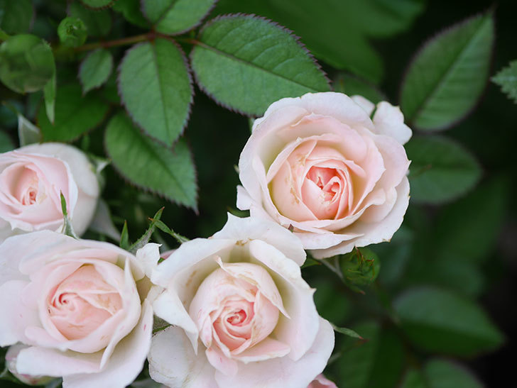 チュチュオプティマ(Tutu Optima)の2番花が咲いた。ミニバラ。2020年-012.jpg