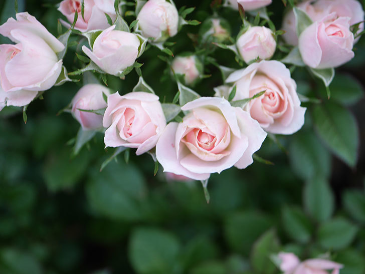 チュチュオプティマ(Tutu Optima)の2番花が咲いた。ミニバラ。2020年-014.jpg