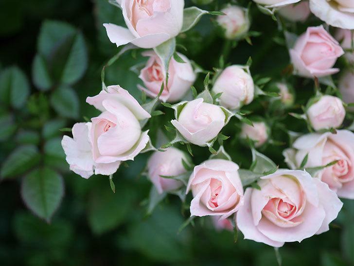 チュチュオプティマ(Tutu Optima)の2番花が咲いた。ミニバラ。2020年-015.jpg