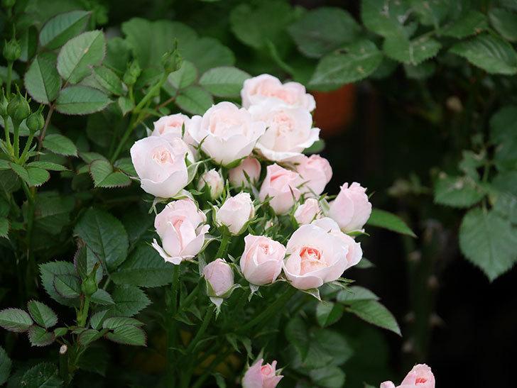 チュチュオプティマ(Tutu Optima)の2番花が咲いた。ミニバラ。2020年-016.jpg