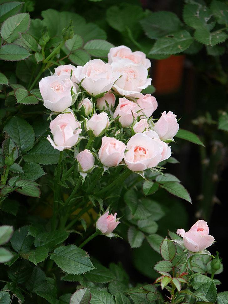 チュチュオプティマ(Tutu Optima)の2番花が咲いた。ミニバラ。2020年-017.jpg