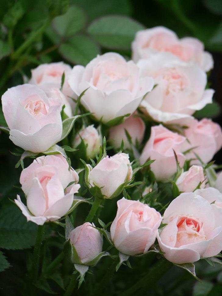 チュチュオプティマ(Tutu Optima)の2番花が咲いた。ミニバラ。2020年-018.jpg