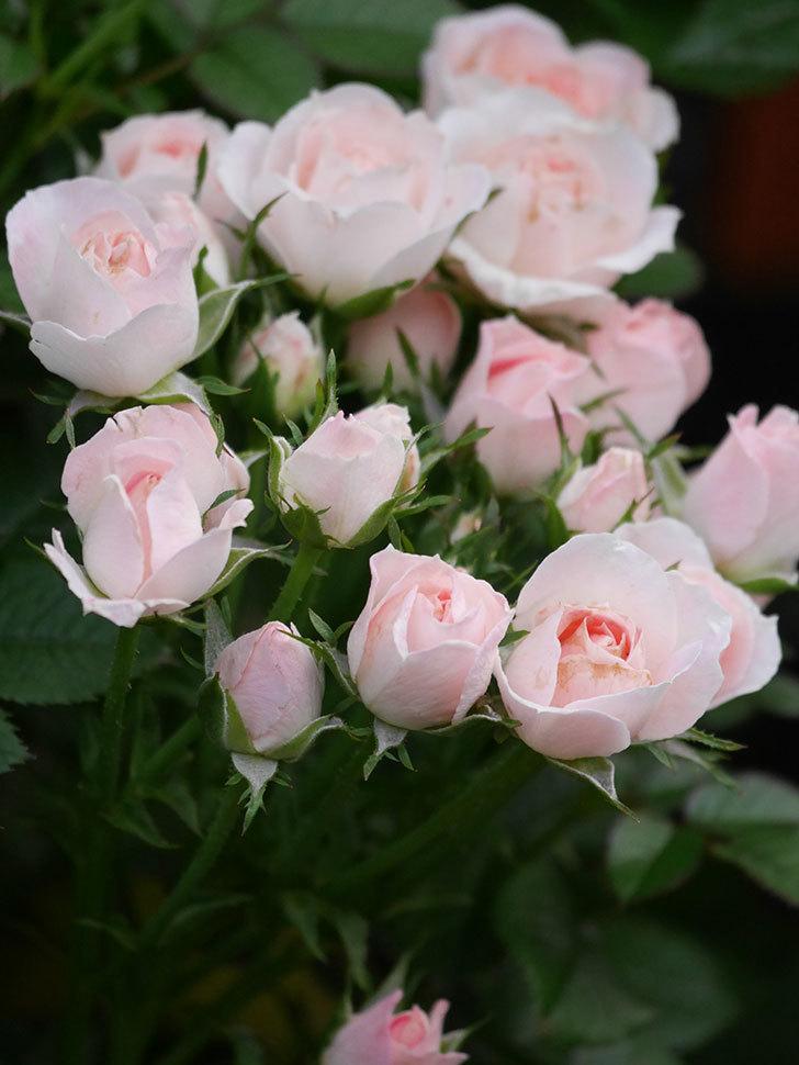 チュチュオプティマ(Tutu Optima)の2番花が咲いた。ミニバラ。2020年-019.jpg