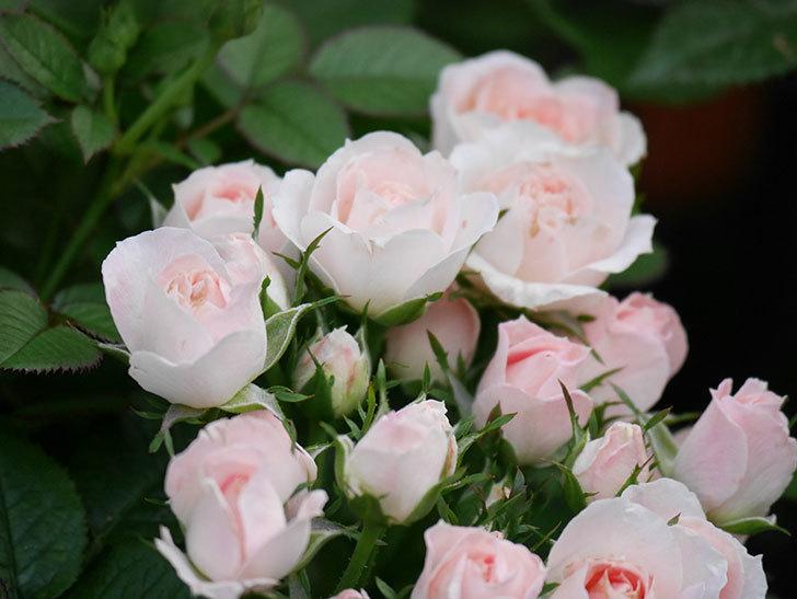 チュチュオプティマ(Tutu Optima)の2番花が咲いた。ミニバラ。2020年-020.jpg