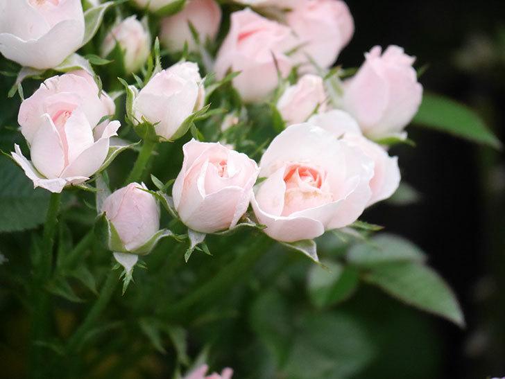 チュチュオプティマ(Tutu Optima)の2番花が咲いた。ミニバラ。2020年-021.jpg
