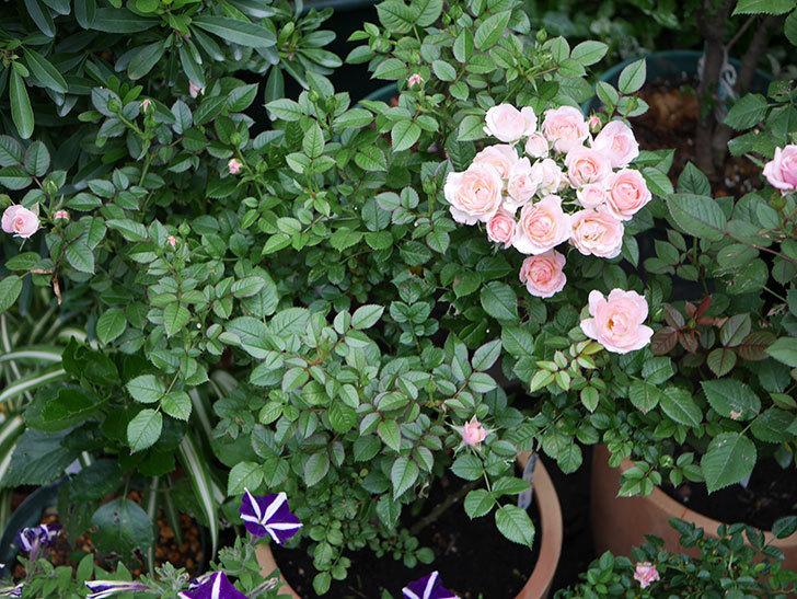 チュチュオプティマ(Tutu Optima)の2番花が増えてきた。ミニバラ。2020年-001.jpg