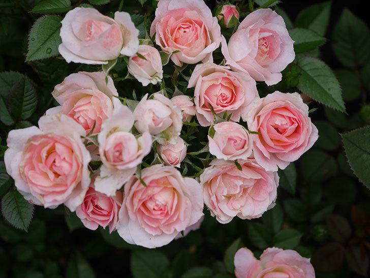 チュチュオプティマ(Tutu Optima)の2番花が増えてきた。ミニバラ。2020年-002.jpg