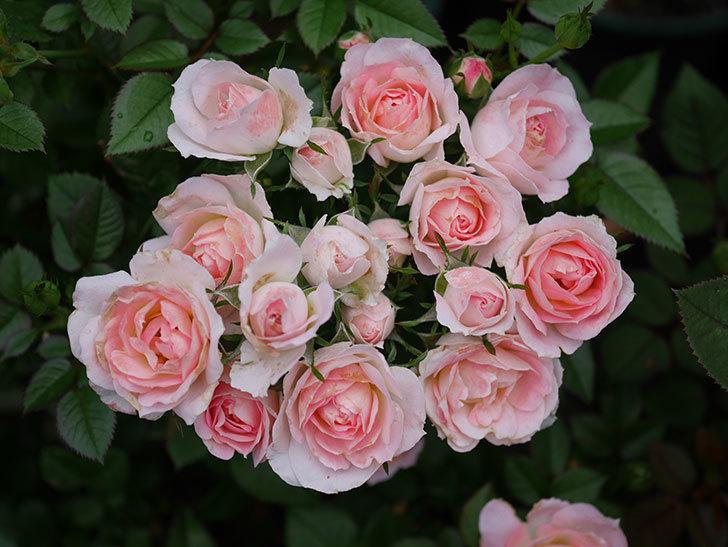 チュチュオプティマ(Tutu Optima)の2番花が増えてきた。ミニバラ。2020年-003.jpg