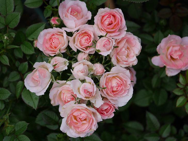 チュチュオプティマ(Tutu Optima)の2番花が増えてきた。ミニバラ。2020年-004.jpg