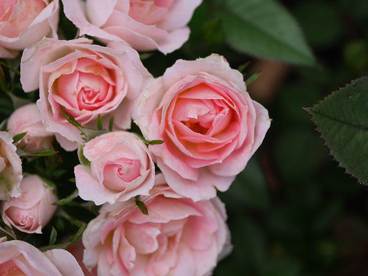 チュチュオプティマ(Tutu Optima)の2番花が増えてきた。ミニバラ。2020年-005.jpg