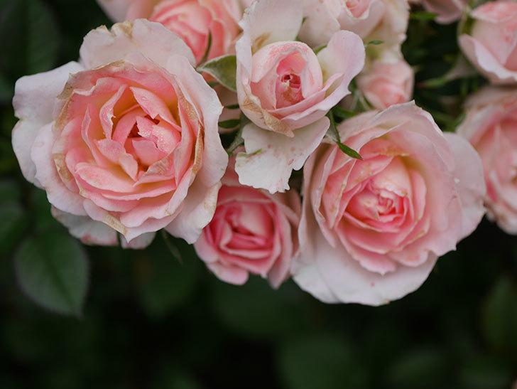 チュチュオプティマ(Tutu Optima)の2番花が増えてきた。ミニバラ。2020年-006.jpg
