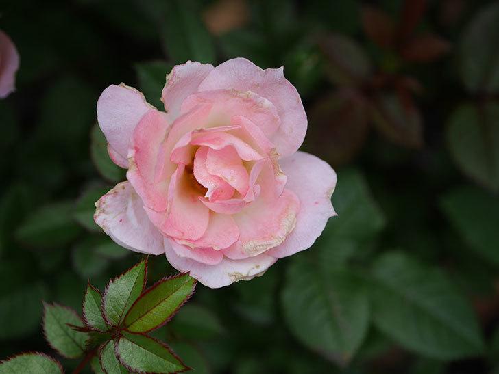 チュチュオプティマ(Tutu Optima)の2番花が増えてきた。ミニバラ。2020年-007.jpg