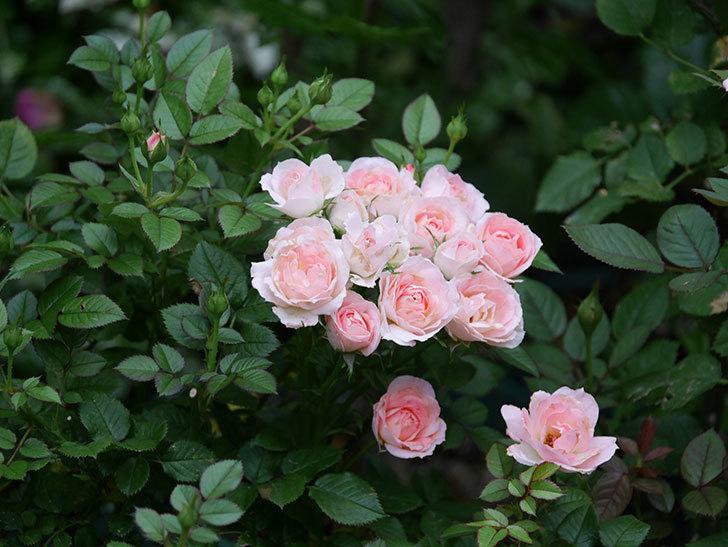 チュチュオプティマ(Tutu Optima)の2番花が増えてきた。ミニバラ。2020年-008.jpg