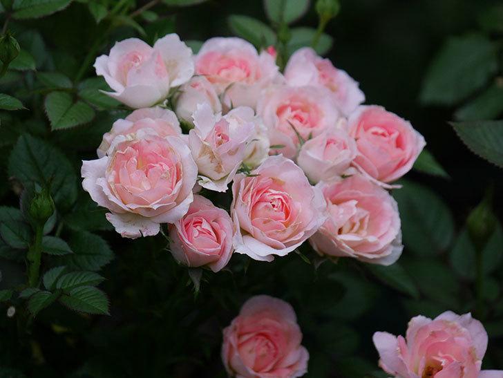 チュチュオプティマ(Tutu Optima)の2番花が増えてきた。ミニバラ。2020年-009.jpg