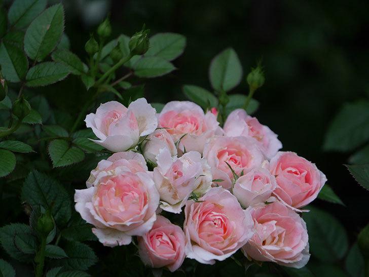 チュチュオプティマ(Tutu Optima)の2番花が増えてきた。ミニバラ。2020年-010.jpg