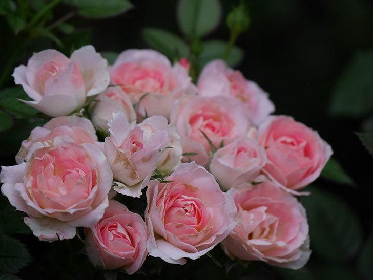 チュチュオプティマ(Tutu Optima)の2番花が増えてきた。ミニバラ。2020年-011.jpg