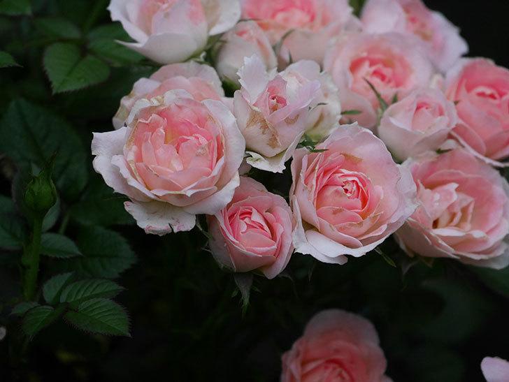 チュチュオプティマ(Tutu Optima)の2番花が増えてきた。ミニバラ。2020年-012.jpg
