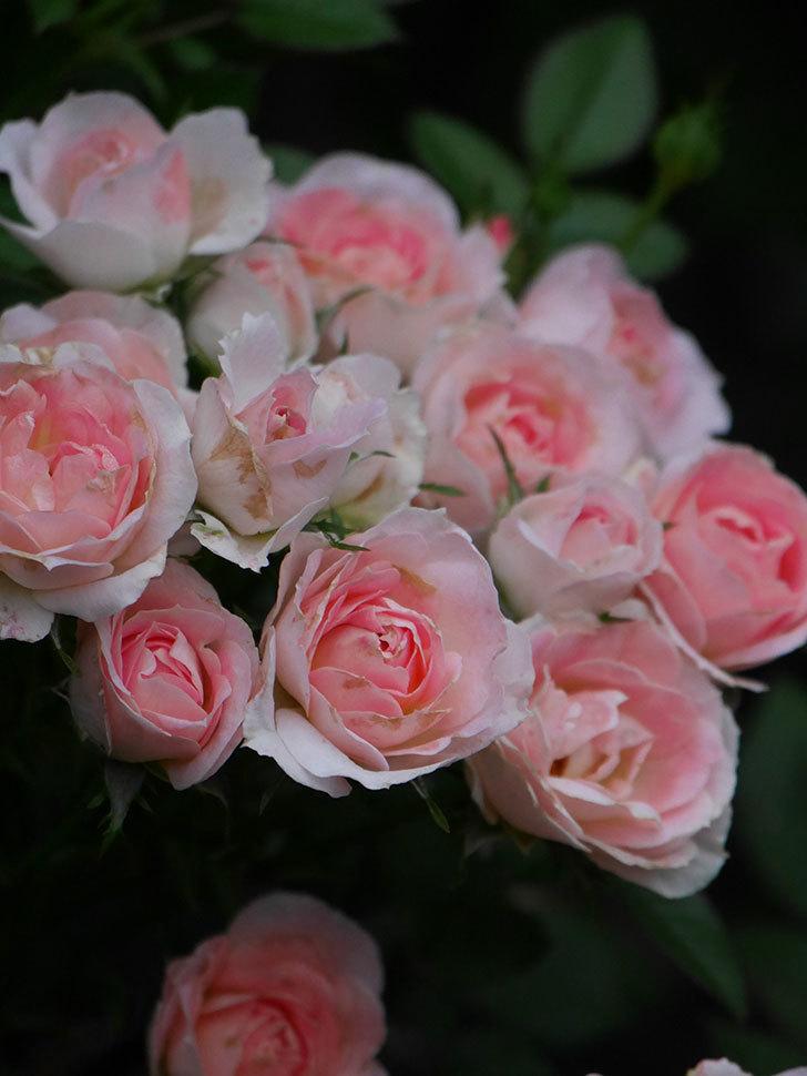チュチュオプティマ(Tutu Optima)の2番花が増えてきた。ミニバラ。2020年-014.jpg
