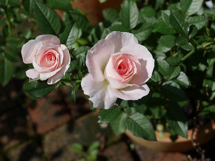 チュチュオプティマ(Tutu Optima)の夏花が咲いた。ミニバラ。2020年-001.jpg