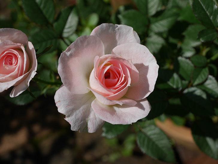 チュチュオプティマ(Tutu Optima)の夏花が咲いた。ミニバラ。2020年-006.jpg