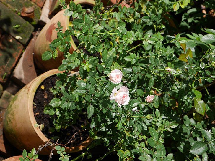 チュチュオプティマ(Tutu Optima)の夏花が咲いた。ミニバラ。2020年-008.jpg