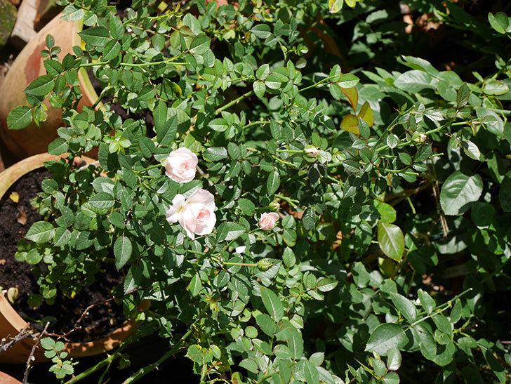 チュチュオプティマ(Tutu Optima)の夏花が咲いた。ミニバラ。2020年-009.jpg