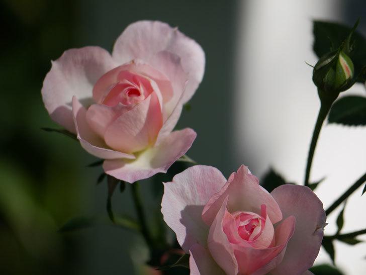 チュチュオプティマ(Tutu Optima)の秋花が咲いた。ミニバラ。2020年-005.jpg