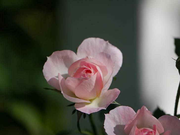 チュチュオプティマ(Tutu Optima)の秋花が咲いた。ミニバラ。2020年-006.jpg