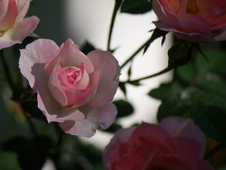 チュチュオプティマ(Tutu Optima)の秋花が咲いた。ミニバラ。2020年-008.jpg